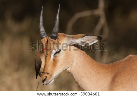 A young impala ram with a red-billed oxpecker on its head, searching for ticks - stock photo
