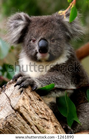 A young koala in a gum tree in South Australia.