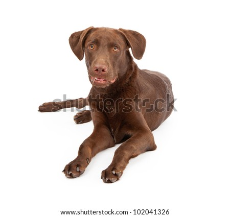 A young Labrador Retriever puppy laying down dog against a white backdrop and looking at the camera