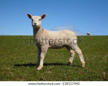 A young lamb standing in a field of green grass against a clear blue sky in spring. - stock photo