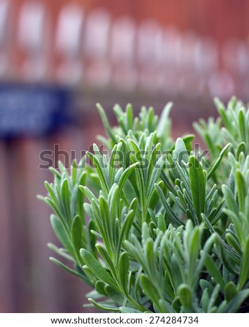 A young lavender plant growing outside in the garden with picket fence in background. - stock photo
