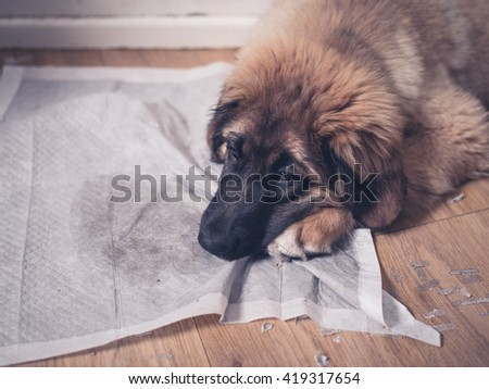 A young Leonberger puppy is lying with her face on her dirty and soiled training pad - stock photo
