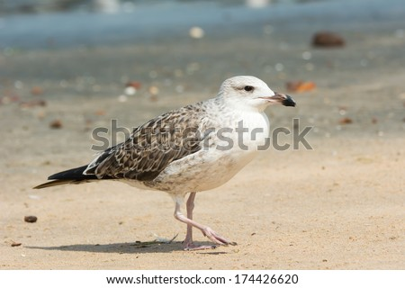 A Young Lesser Black-Backed Gull (Larus fuscus) walking on the beach - stock photo