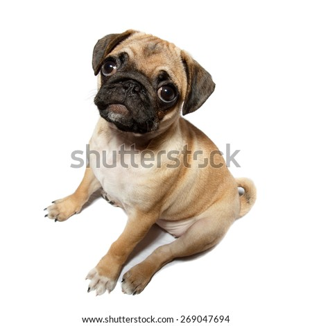 A young light colored pug on white background - stock photo