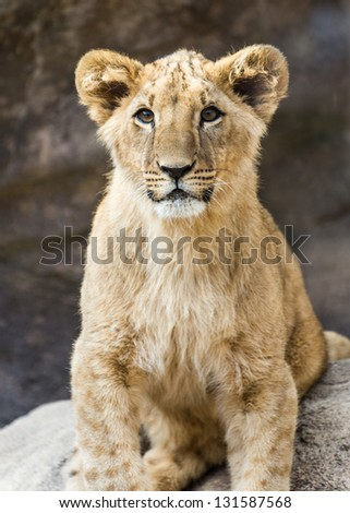 A young lion cub - stock photo