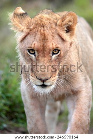 A young lion cub on the move. - stock photo