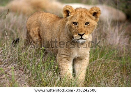 A young lion cub on the move. Taken on safari in South Africa