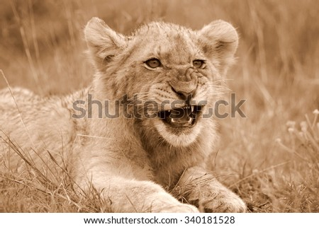 A young lion cub on the move. Taken on safari in South Africa - stock photo
