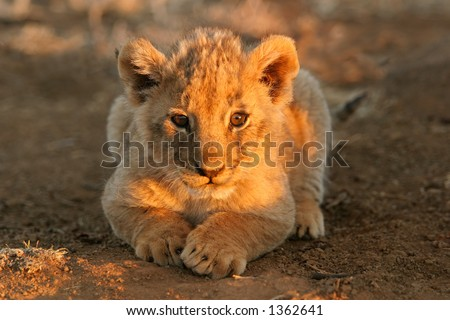 A young lion cub (Panthera leo) lying down in early morning light, South Africa