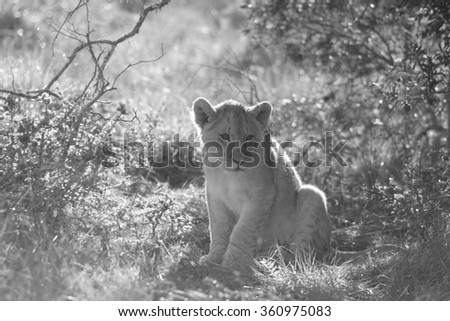 A young lion cub. Photo taken on safari in South Africa.