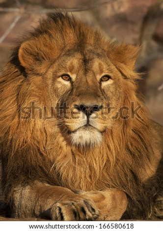 A young lion, lying in sunset light. Beauty of the wild nature. King of beasts, the biggest cat and the most dangerous raptor of the world. A portrait of the expressive animal. - stock photo