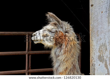 A young Llama silhouette. - stock photo