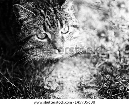 A young male cat looking to play outdoors. Head closeup with greenery. Positioned top left, looking to the  right. Copy space. Black and white version - stock photo