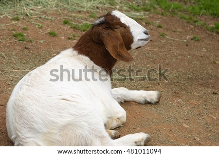 a young male goat resting on the ground