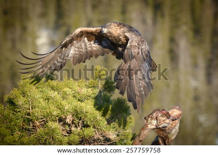 A young male Golden Eagle flies away from his Pine Marten meal, his wings casting a shadow on the pine tree in which he was sitting.