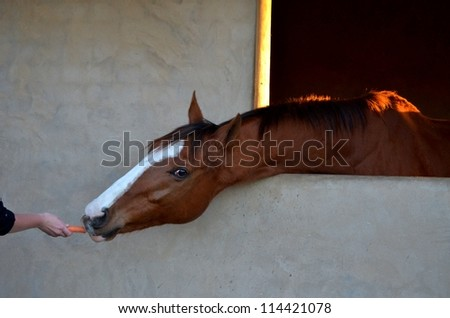A young male horse with a white blaze on his head stretching or reaching out of a brick window, for a carrot out of a women's hand. - stock photo