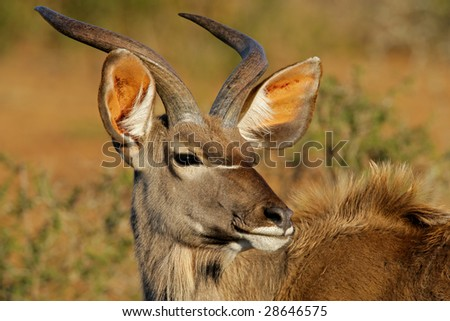 A young male kudu antelope, (Tragelaphus strepsiceros), South Africa