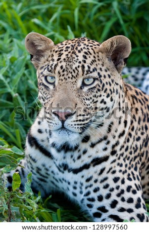 A young male leopard in the grass