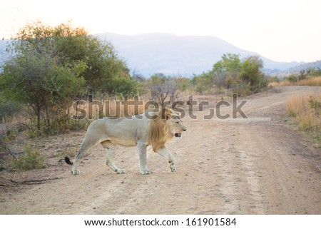 A young male lion crosses a gravel road in Pilanesberg National Park, South Africa - stock photo