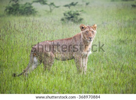 A young male lion in a field of tall grass - stock photo