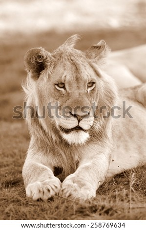 A young male lion in deep thought. - stock photo