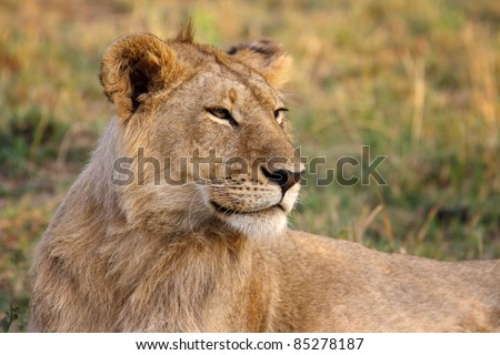 A young male lion in Masai Mara Game Reserve in Kenya - stock photo