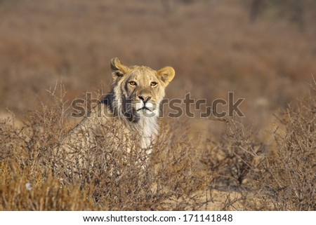 A young male Lion (Panthera leo) sat upright amongst thorn scrub in the Kalahari desert, Kgalagadi transfrontier park, South Africa - stock photo
