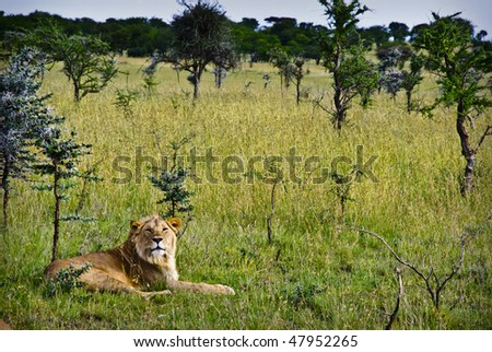 A young male lion resting in bush in the serengeti