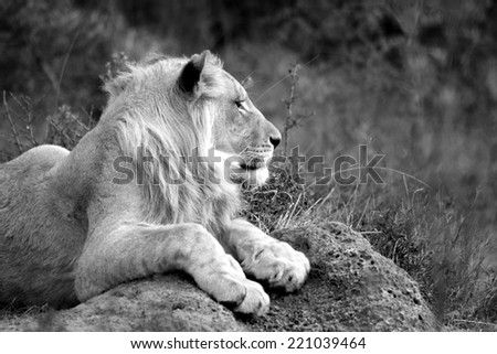 A young male lion rests his paws over a termite mound. - stock photo