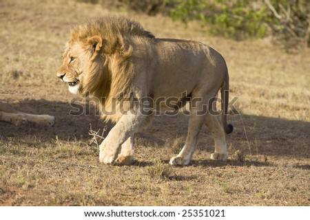 A young Male Lion walks near the vehicle