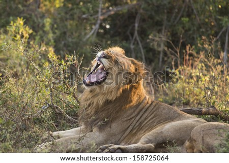 A young male lion yawning and showing his teeth - stock photo