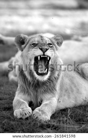 A young male lion yawning and showing off his teeth in this black and white image. - stock photo