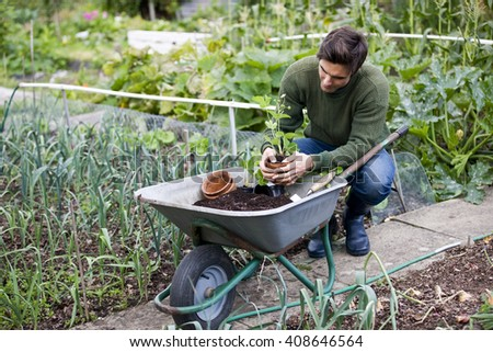 A young man potting strawberry plants on an allotment - stock photo