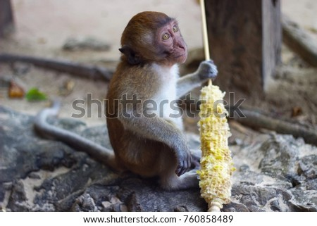 A young monkey is holding a corn on a stick