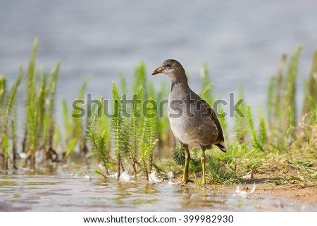 A young Moorhen (Gallinula chloropus) standing amongst mares-tail vegetation on a pond, UK