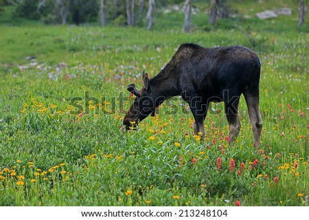 A young moose grazing on wildflowers, Utah, USA. - stock photo