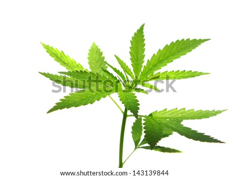 A young new growing cannabis (marijuana) plant isolated on white - stock photo