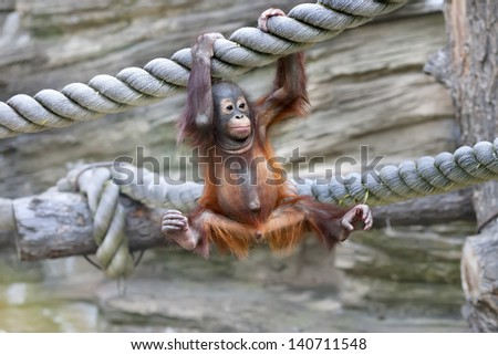 A young orangutan is ready for low catch - stock photo