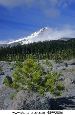 A young pine tree grows on the lower slopes of Mount Hood in northwest Oregon. - stock photo
