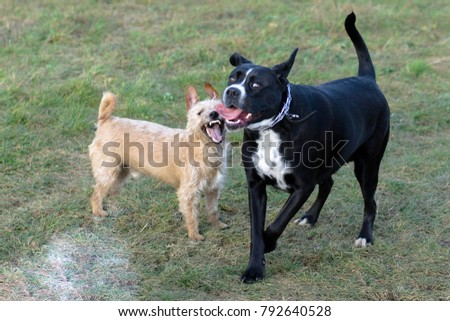 A young, playful dog Jack Russell terrier runs meadow in autumn with a another big black dog.