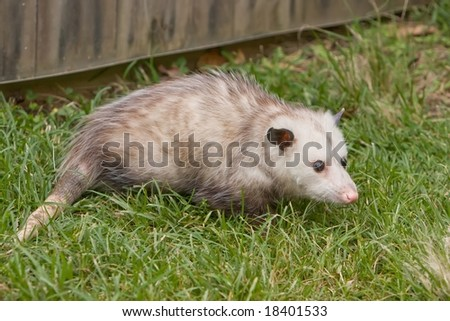 A young possum roaming around in some grass.