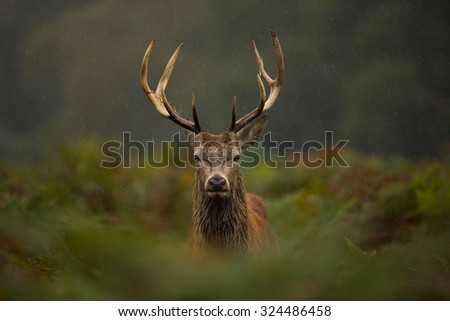 A young Red deer stag. - stock photo