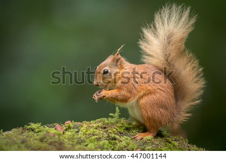 A young Red Squirrel on the ground eating Hazel Nuts - stock photo