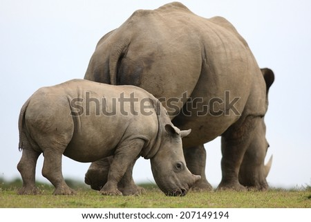 A young rhino / rhinoceros calf grazing with his mother. South Africa. - stock photo