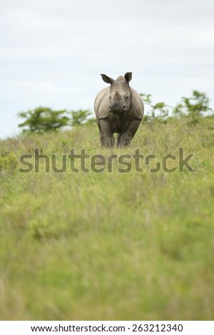 A young rhinoceros / rhino in an open field. Exploring South Africa. - stock photo