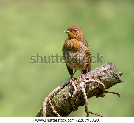 A young Robin just starting to get his adult colours perched on a log. - stock photo