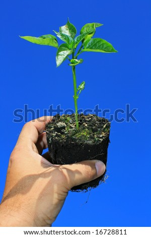 A young sapling plant (green pepper) being held in a hand, set against a bright clear blue background. - stock photo
