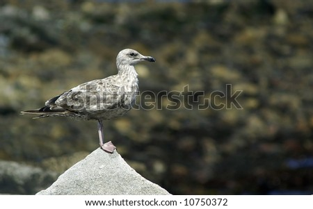 a young sea gull stands alone on a rock