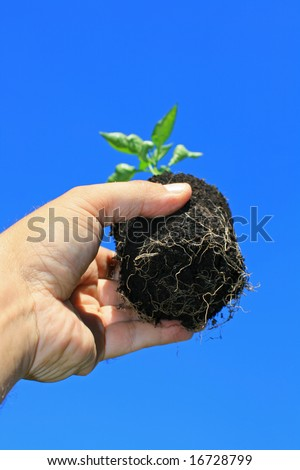 A young seedling being held in a hand showing base roots in soil. Set against a bright blue background. - stock photo