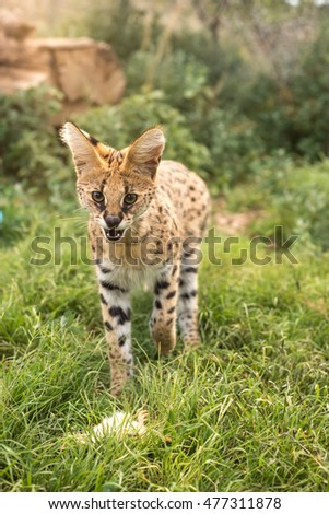A young serval protecting his meal